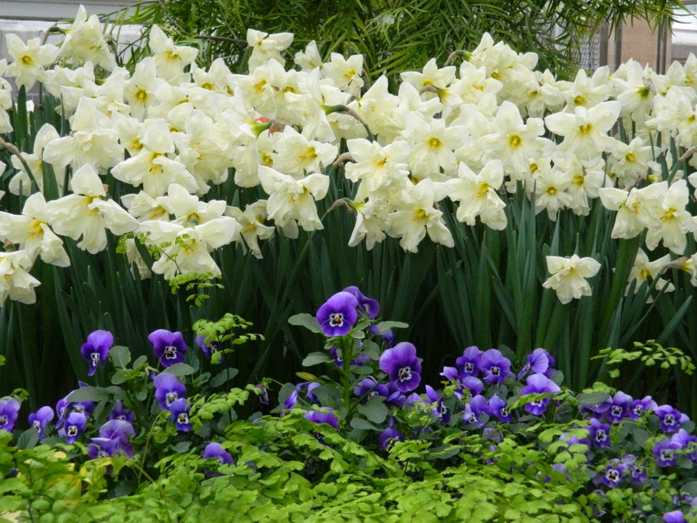 Allan Gardens Conservatory 2014 Easter Flower Show white narcissus blue violas by garden muses-not another Toronto gardening blog