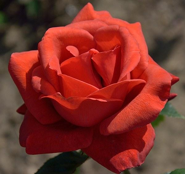 Terracotta роза фото