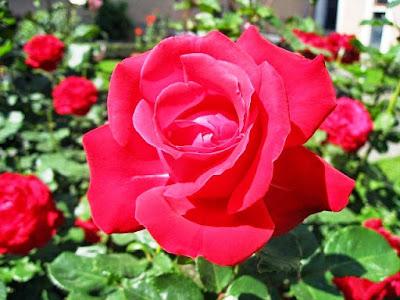 Bunga Tercantik di Dunia-Mawar Merah