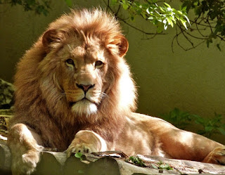 information about lion in hindi, lion information hindi