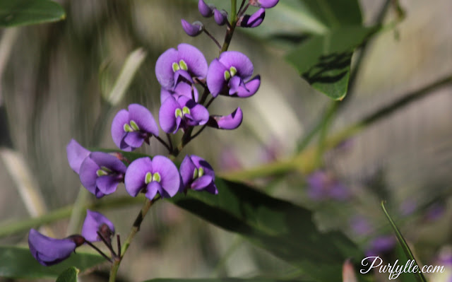 Purple pea flowers