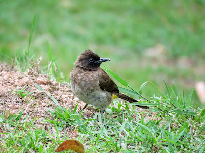 Uganda Birds: Common Bulbul