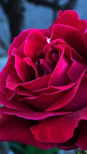 Nụ Hồng Đỏ, Hoa Hồng Đỏ