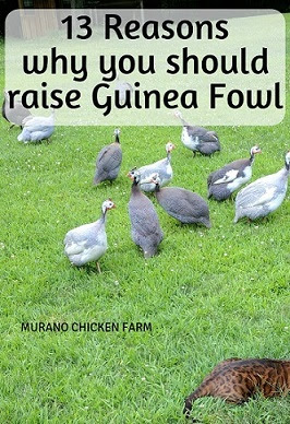 Why you should raise guinea fowl