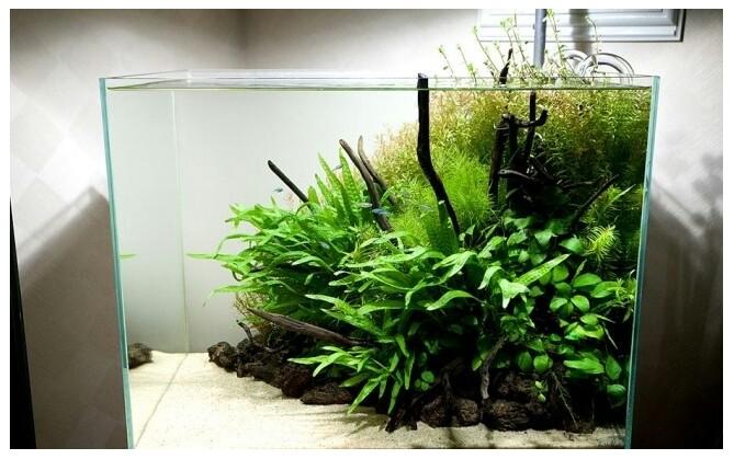 Bể thủy sinh nhỏ dùng dương xỉ lá hẹp