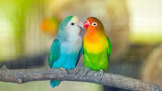 Belajar Kehidupan Dari Peternak Lovebird