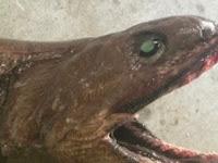 Monster Laut Aneh Ditangkap Di Australia