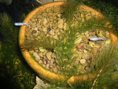 メダカ ビオトープ