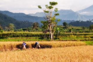 Teknologi pada padi