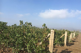 vines, mt Helan, Ningxia, China