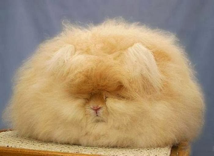 The Angora rabbit is a variety of domestic rabbit bred for its long, soft wool. The Angora is one of the oldest types of domestic rabbit, originating in Ankara.