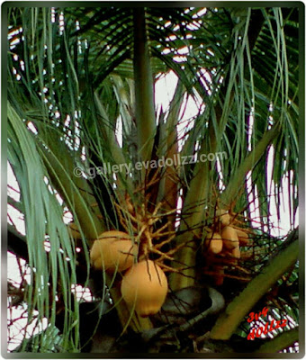 Coconut tree, palm tree, pohon kelapa