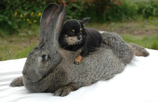 flemish giant rabbit and dog - photo #1