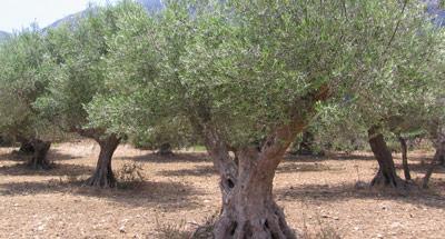 Βγήκαν οι πρώτοι τιμοκατάλογοι για τις ελιές Χαλκιδικής, μεγαλοκαρπία και κάθετη πτώση παραγωγής αναμένεται στις Καλαμών