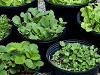 Keuntungan Bertanam Sayuran dan Buah di dalam Pot, Sudah Tahu?