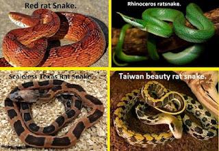 Red rat snake