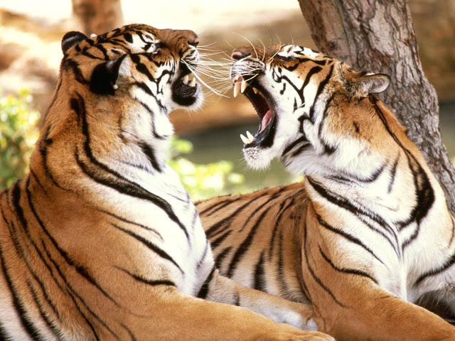 Special Mantra Saves Men Trapped up Tree by Hungry Tigers