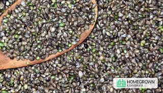 cannabis seeds or genetics