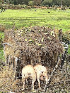 Hongerige schapen