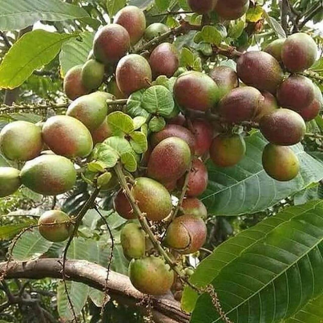Di jual MATOA HASIL OKULASI BIBIT MATOA LANGKA WISATA AGROTANI Jawa Timur