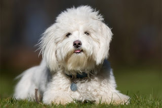 Everything about your Coton de Tulear