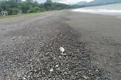 Puluhan Ekor Ikan Mati, Bau Amis Menyengat di Sekitar Pantai Cepi Watu