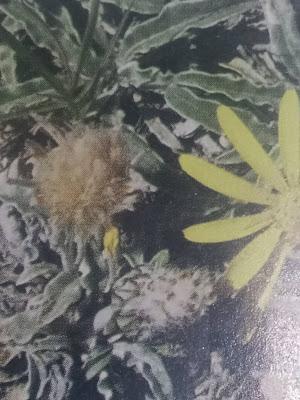 Contrayerba (Trichlocline plicata)