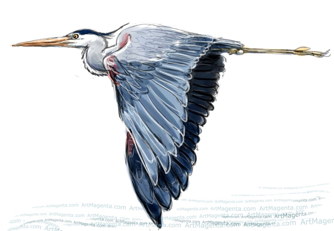 Great Blue Heron sketch painting. Bird art drawing by illustrator Artmagenta