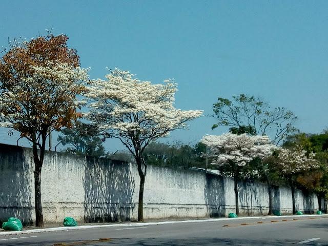 Ipês Brancos a margem de uma rua de asfalto