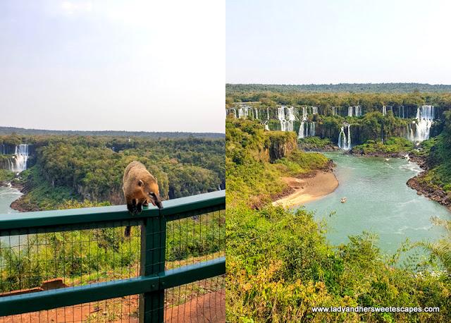 coati in Iguazu Falls Brazil