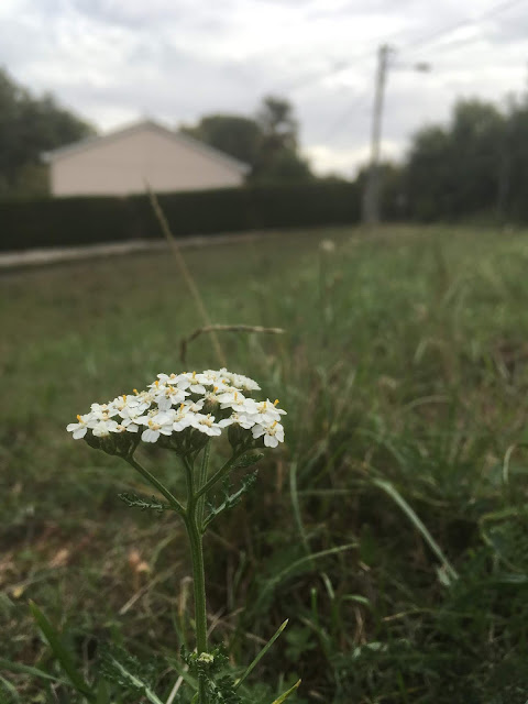 achillée millefolium en son champ