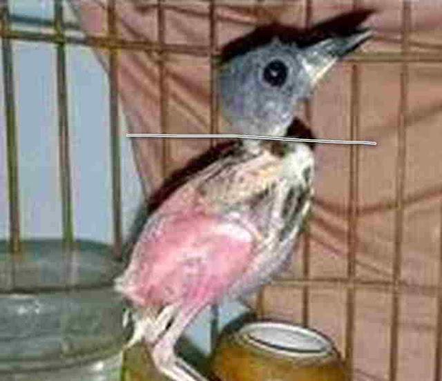 Mabung Burung Cendet