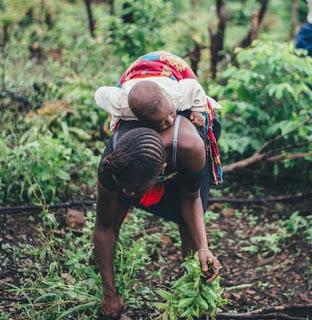 Women farming cassava