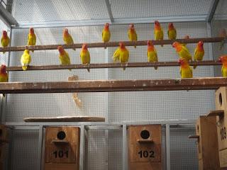 Kandang Budidaya Burung Lovebirds