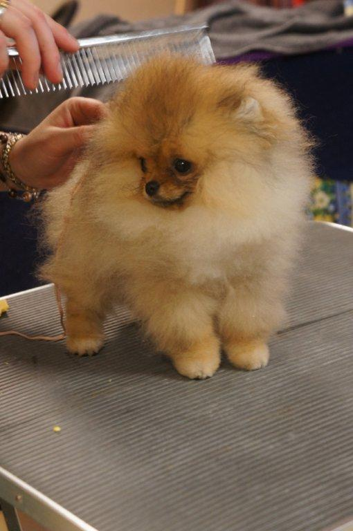 pomeranian club of america gran schiavo kennel poms 2012 national specialty 2222