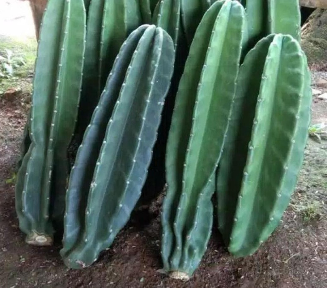 Kaktus Koboi Ukuran 41 50 CM Kaktus Belimbing Lampung