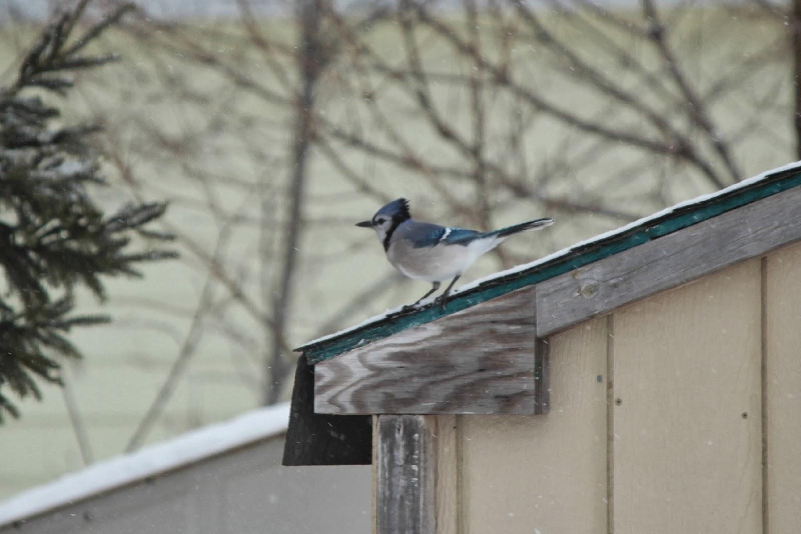 American Robin & Blue Jays ~ Backyard Birds