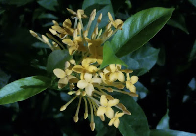Yellow colored Ixora coccinea(Jungle geranium)flower