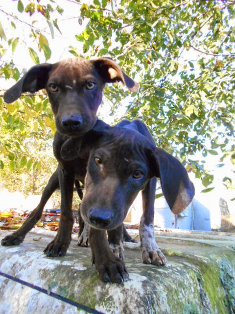 Catahoula Puppies: Coco and Rock puppies born August 2014