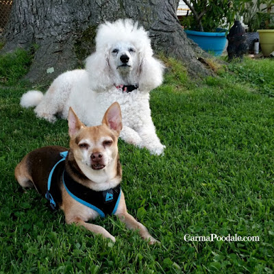 Chihuahua photo bombing a Poodle