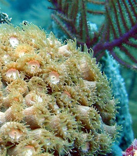 The standard biology classification system was made by a creationist, but secularists changed it. What species are corals? Creationists are developing created kinds systems of classification.