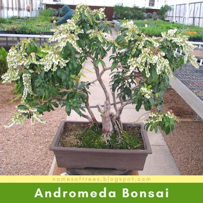 Andromeda Bonsai
