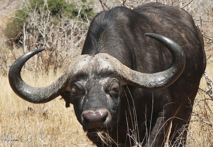 Búfalo-cafre-Río-Sabie-Kruger