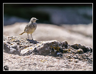https://bioclicetphotos.blogspot.fr/search/label/Pipit%20maritime%20-%20Anthus%20petrosus