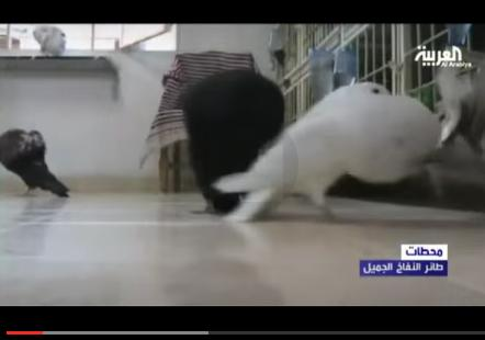 فيديو للحمام النفاخ بطنجة على قناة العربية