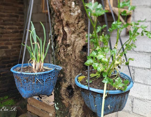 daur ulang tanaman sayur