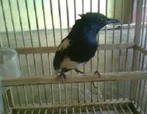 perawatan burung kacer mabung,cara merawat kacer mabung,cara merawat burung kacer mabung,cara melatih mental kacer,mengatasi kacer mbagong saat lomba,perawatan kacer setelah mabung biar gacor,