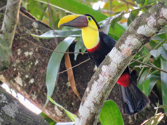 Costa Rica Wildlife: toucan