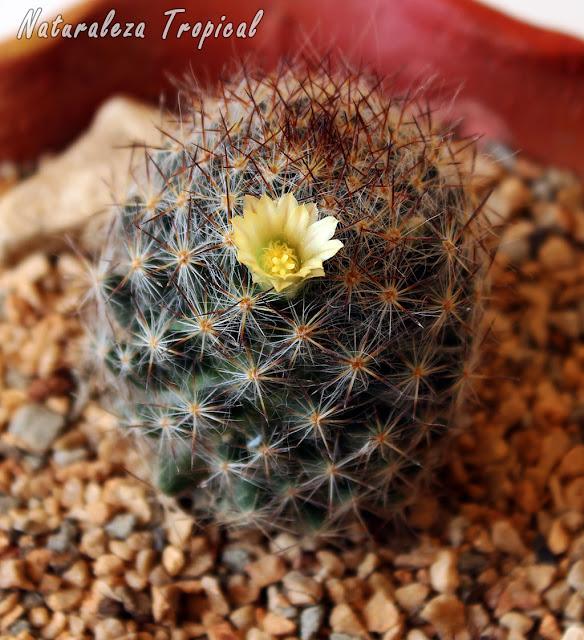 Ejemplo de cactus florecido