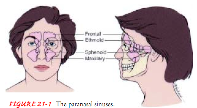FIGURE 21-1 The paranasal sinuses.